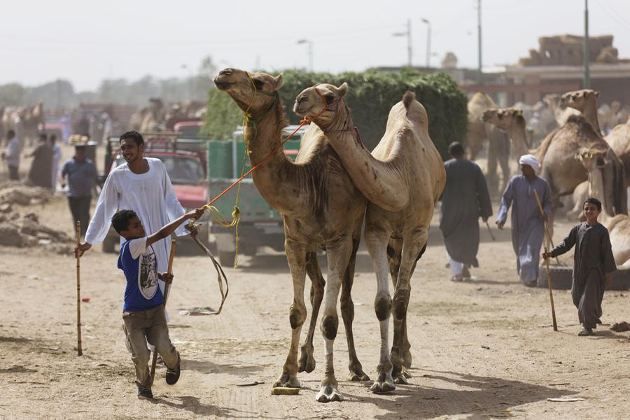 越来越多的证据表明,与单峰骆驼接触可能是感染MERS病毒的危险因素之一。在中东和非洲地区9个国家的骆驼都被检测出了这种病毒感染,也有研究者报道病毒从骆驼传播到了人类。但是,这种病原体究竟如何从骆驼身上传到了人身上的机制仍不清楚。