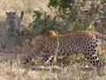 实拍两花豹大战虐杀三米巨蟒