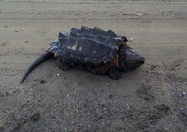 俄河畔现巨大乌龟无人识 形似恐龙被称 乌龟中的恐龙图片