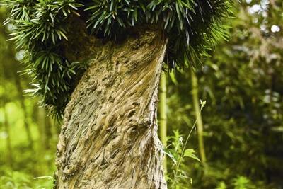"""杭州评出70棵""""最美古树"""" 西湖景区有8棵(图)"""