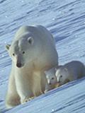 创纪录剧场:公熊欲杀幼崽 被母熊怒吼吓退