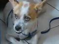 现实版忠犬:被送走3次 寻路回家用爪子敲门