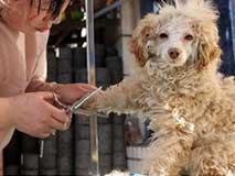 宠物美容师分享当今最in宠物发型