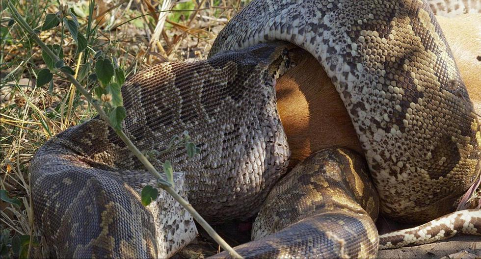 非洲巨蟒吞食野山羊 吞咽过程达24小时(图)2