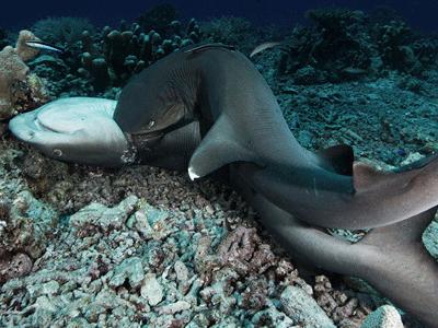 实拍公鲨咬住母鲨强行交配 过程如强暴