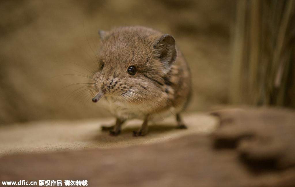 一只吐舌头的象鼩宝宝