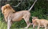 狮生已如此艰难:小狮子被爸爸尿喷了一脸