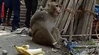 印度猴哥偷吃捣乱太调皮 被抓后游街示众
