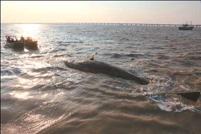 南通  如东滩涂发现抹香鲸 14日凌晨,如东长沙镇三民村养殖紫菜的渔民