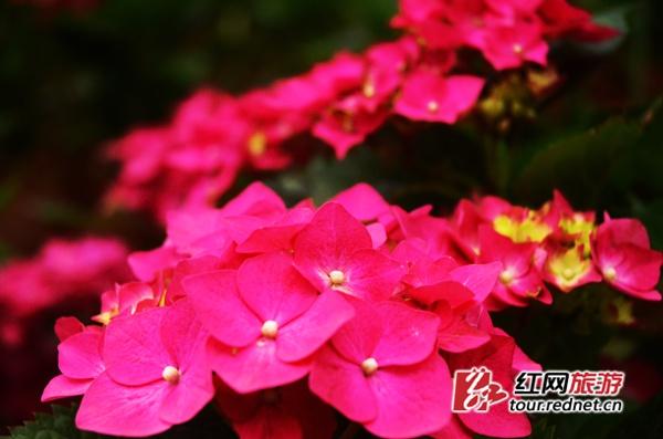 绣球花主要分布在园内樱花湖畔普贤象樱花林中