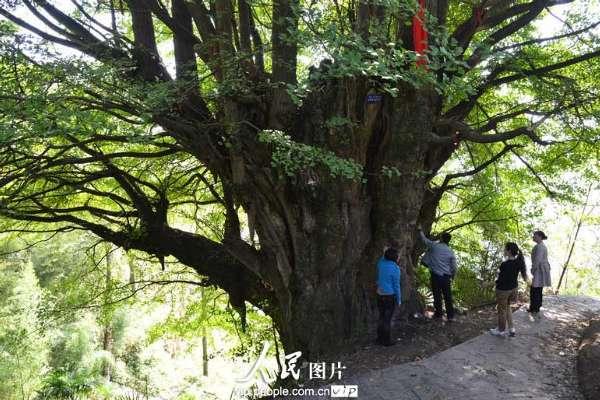 四川叙永惊现千年古树 胸围17米独树成林