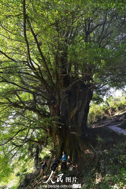 四川叙永惊现千年古树 胸围17米独树成林【2】