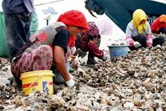 红岛海蛎子肥美引来赶海客