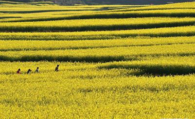组图:云南罗平油菜花盛开迎游客