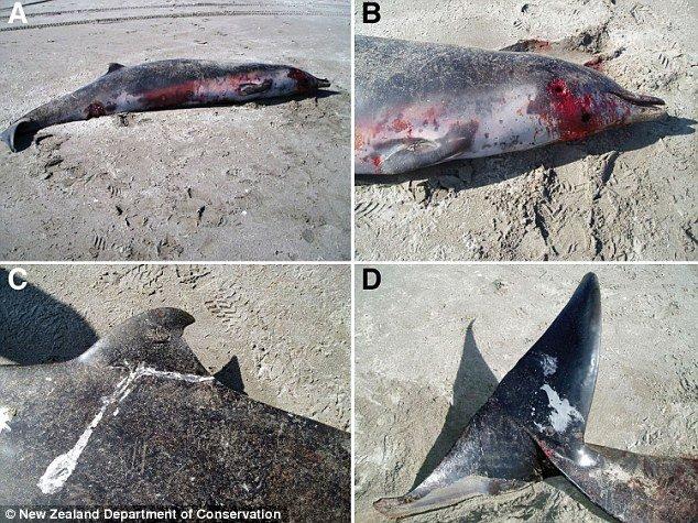 它们的栖息地在南太平洋.这只成年鲸鱼比其它相似种类的鲸鱼体