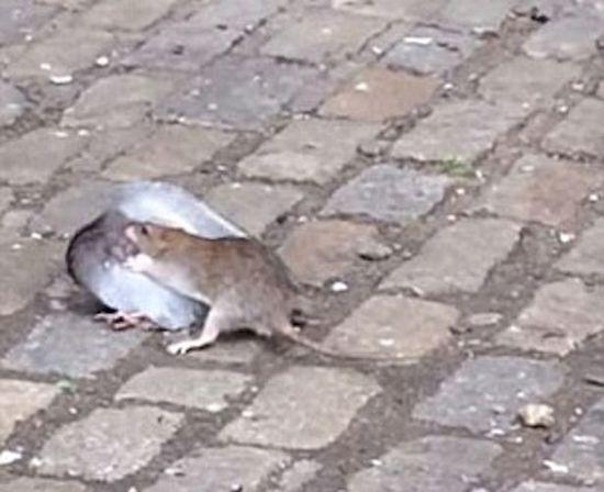 美街头惊现鼠鸽大战 鸽子惨败