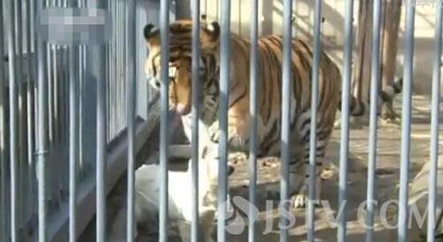 南通| 如皋一动物园小狗与老虎同住 相处亲密(图)
