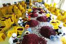 清涧县生产经营红枣 带动农户均收入1-2万元