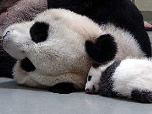 动物园表示,「圆圆」镇定许多,现在听到「圆仔」哭叫已不会再惊慌.