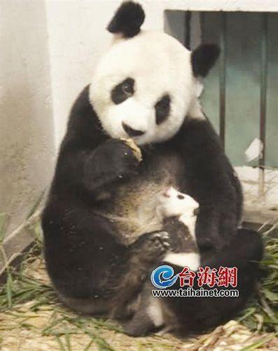 断掌大熊猫雷雷(资料图)