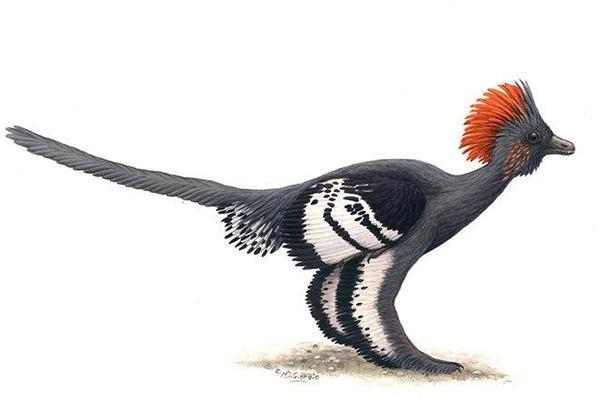 克龙弗兰德犬-赫氏近鸟龙(学名:Anchiornis huxleyi )是一种长有羽毛的小型恐龙,高清图片