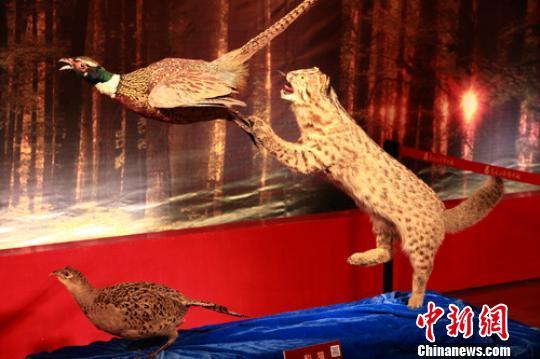 濒危物种豹猫标本在黑龙江省博物馆展出(图)