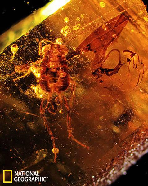 琥珀中发现以恐龙粪便为食的蟑螂