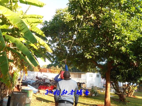 这油梨树又高又大,想把油梨摘下来还得费点劲呢.