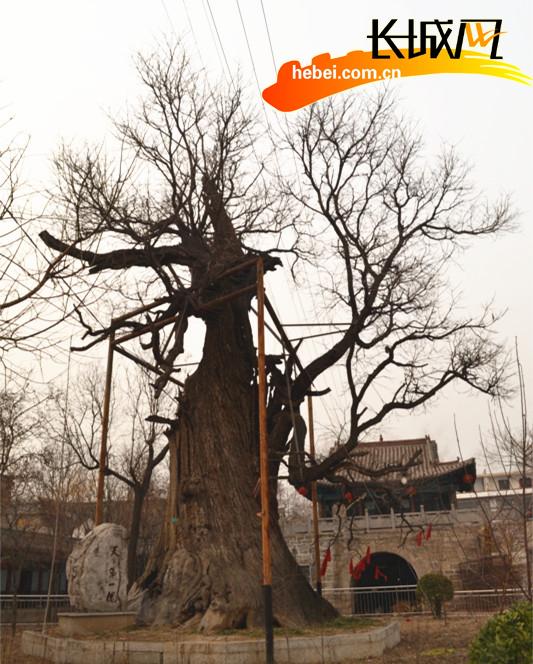 """古村寨的""""天下第一槐""""。 刘云 摄"""