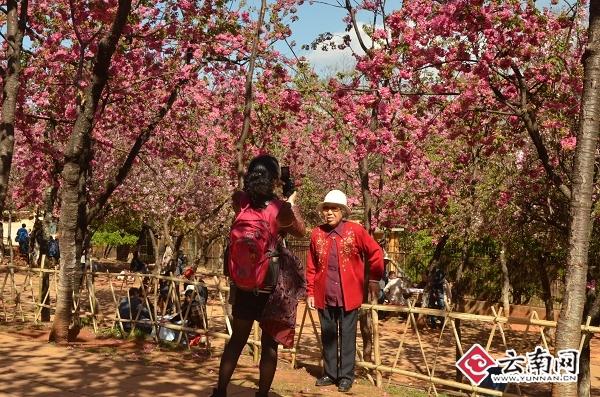 昆明圆通山公园里,在樱花树下拍照的游客。