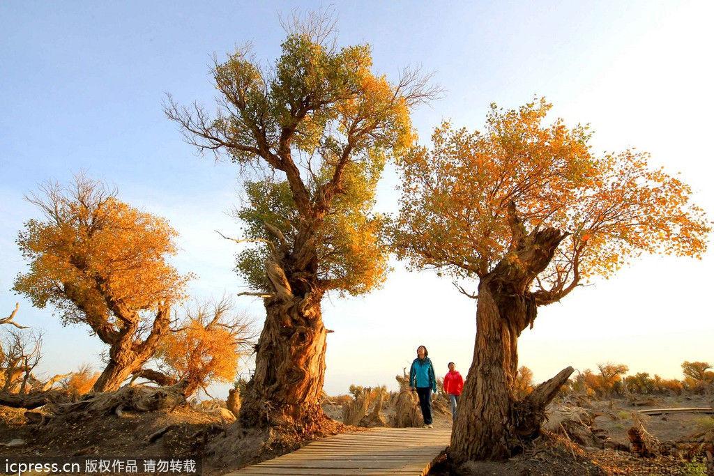 胡杨林让人如梦如醉,吸引了许多游客前来游览观光.在新疆伊