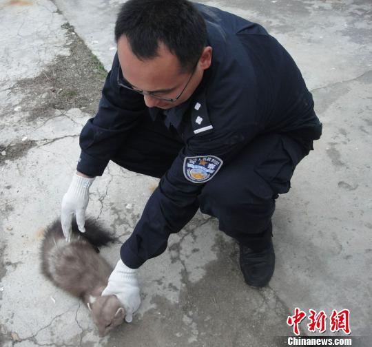 新疆森林警察成功救护国家二级保护动物石貂