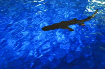 六安一市民养鲨鱼做宠物 担心出意外送到海洋馆