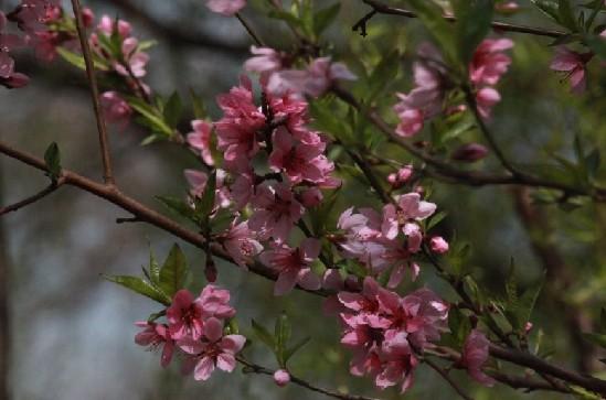 桃花 【龙虎网报道】四月伊始,草长莺飞春意正浓之际,南京的樱花在枝头开得正旺。一阵微风袭来,粉色的花瓣漫天饶蝶舞,每年到了这个时节,种有樱花的地方都是人声鼎沸。南京有不少赏樱花的好去处,而其中最有名的要数南京林业大学。在南京人心目中,樱花已经成为南林大的校花。从即日起,龙虎网与南京林业大学学生会联合举办南京首届高校樱花仙子评选,为南林大的校花寻找代言人。 报名时间:2014年4月3日-4月8日 报名方法: 1、网页报名:点击龙虎网首页南京首届高校樱花仙子评选活动网页,点击我要报名按钮;
