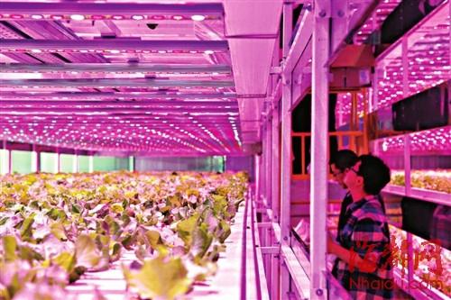四种彩灯模拟人工阳光,植物工厂内宛如一个粉色的梦幻世界