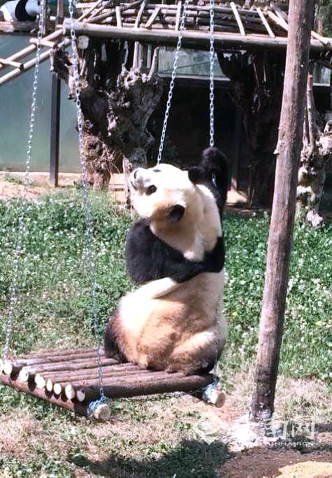 云南野生动物园为大熊猫思嘉找乐子