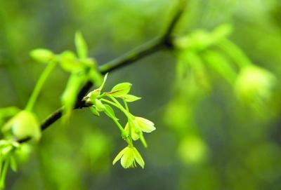 小黄花清风藤低垂枝头