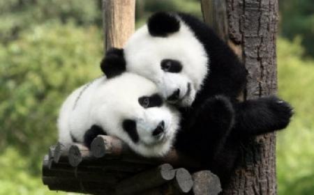 """中国租借给马来西亚的两只大熊猫""""凤仪""""和""""福娃""""21日抵马."""