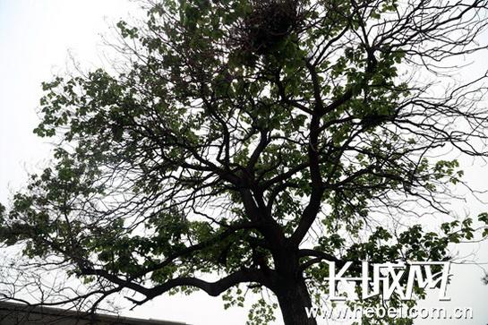 胸径3米,树干细长挺直,上部枝叶繁茂,树杈向四周均匀生长,像极了正在