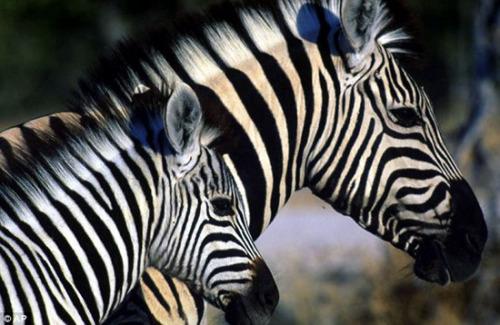 摄影师拍非洲斑马迁徙 500公里旅途寻草场
