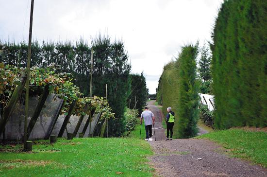 奇异果果园被高大茂密的树墙保护着