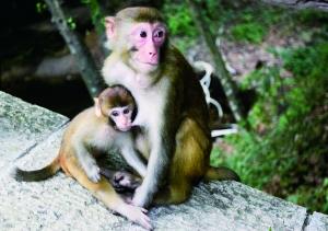 张家界黄石寨风景区,饿极的小猴子依偎在妈妈的怀