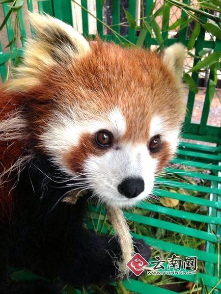 """昆明""""越狱""""小熊猫住进野生动物园"""