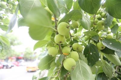 街边果子坠枝 市民耐心等候|果树|果实_凤凰资讯