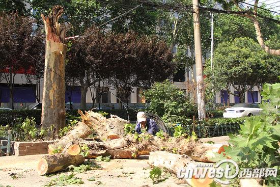 一棵十几米高的行道树突然拦腰折断倒地