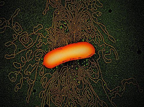 微镜观察大肠杆菌