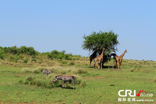 国际在线报道(记者 王新俊):肯尼亚是野生动物的天堂,在这个国土面积比中国四川省加重庆市稍大一些的东非高原之国,有着近60个国家公园和国家自然保护区。其中,马赛马拉国家保护区被认为是世界上最著名的野生动物保护区,堪称野生动物园的王中王。