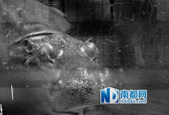 大嘴巴河马无法容忍这般酷暑,把整个头泡入水中降温.