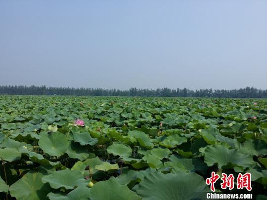 7月31日,台湾媒体记者用镜头聚焦东南亚最大的自然荷花景区——团湖