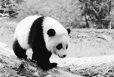 """在美国华盛顿国家动物园,""""宝宝""""十分健康,她最喜欢爬树和在树上睡觉."""